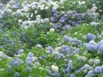 紫陽花-2008.7.1