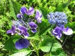 紫陽花-2010.7.8-1