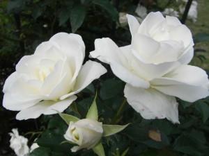 バラ-2009.6.27