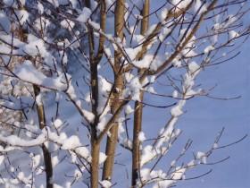 枝の雪-2007.1.24