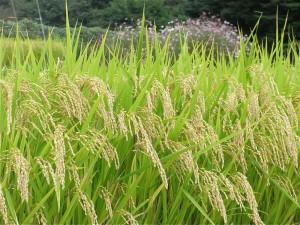 稲-2008.9.24