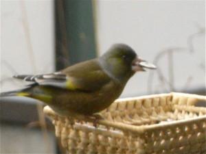 カワラヒワ-2008.12.25