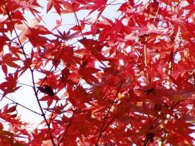 紅葉-20061115