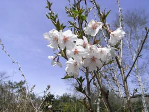 桜-2010.4.21