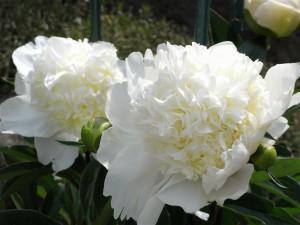 芍薬-20076.5