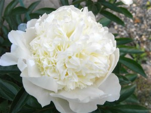 芍薬-2009.5.29