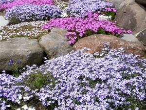 芝桜-2009.5.1