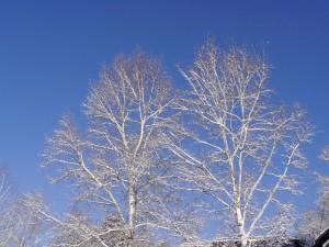 白樺-2006.12.23