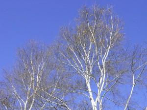 白樺-2007.11.18