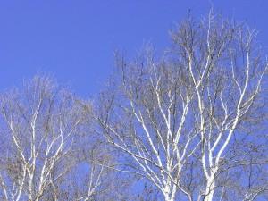 白樺-2008.12.7