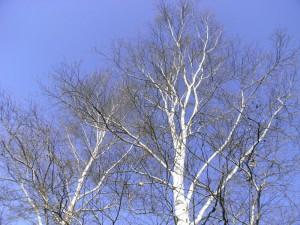 白樺-2009.11.29