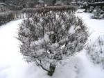 ドウダンツツジ-2012.12.26