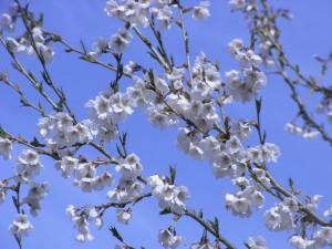 桜-2014.4.27-2