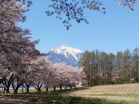 甲斐駒ケ岳をバックにした桜並木-2017.4.26