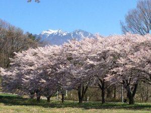 八ヶ岳をバックにした桜並木-20174.26
