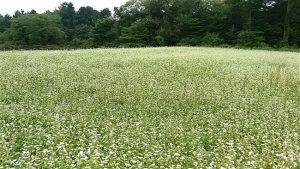 蕎麦の花-2017.9.9
